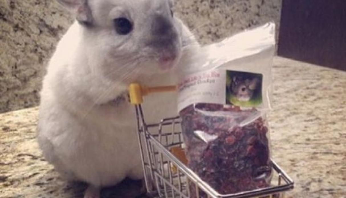 Mr. Bagel the Chinchilla
