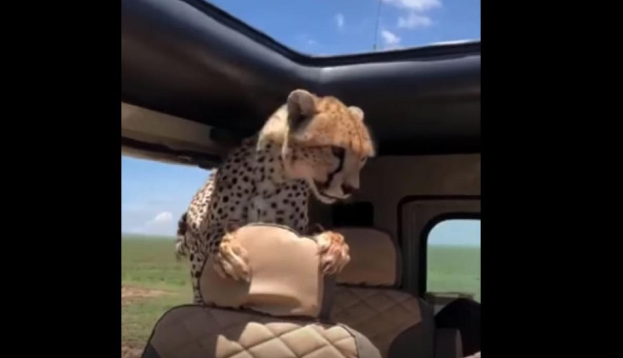 #Video Leopardo aborda jeep en el Serengeti