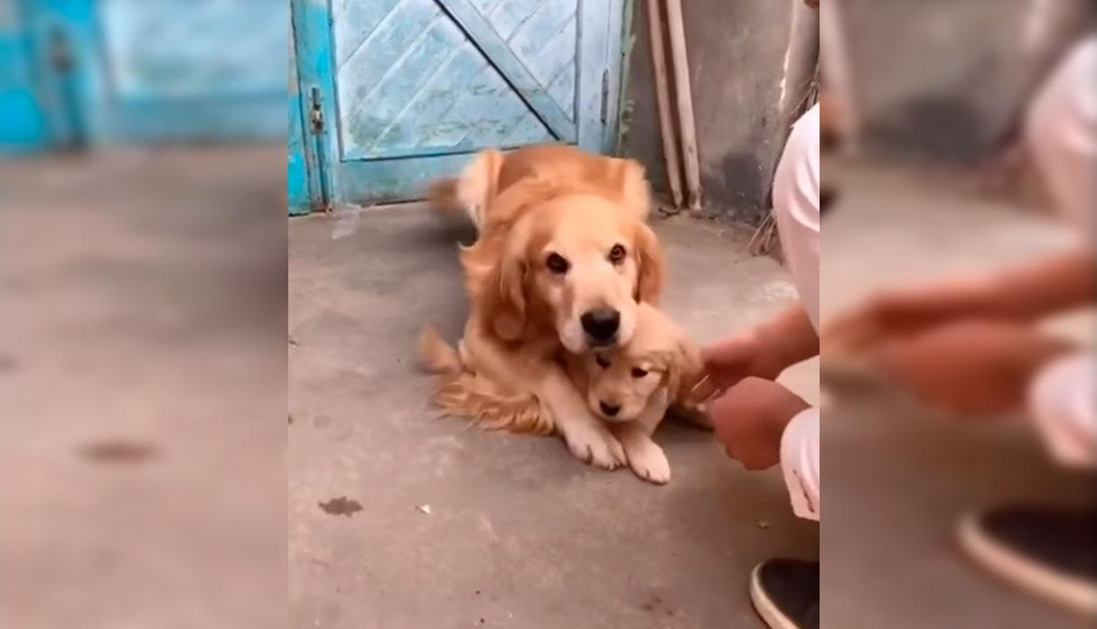 Un Golden Retriever fue viral en YouTube por querer proteger a su cachorro de la manera más tierna. (Foto: YouTube/captura)